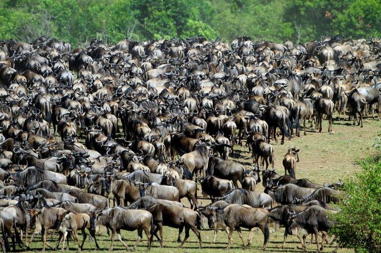Die Große Migration der Gnus in der Serengeti ist das Highlight jeder Tansania-Reise
