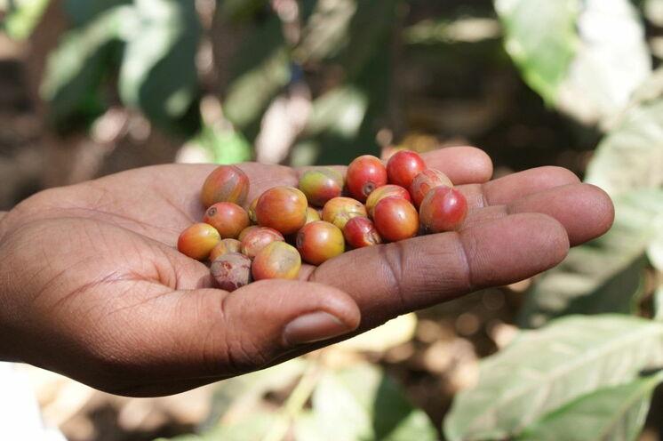 Der bekannte Arabica-Kaffee wird an den Hängen des Mt. Meru angebaut. Eine der Wanderungen steht ganz im Zeichen des Kaffees.