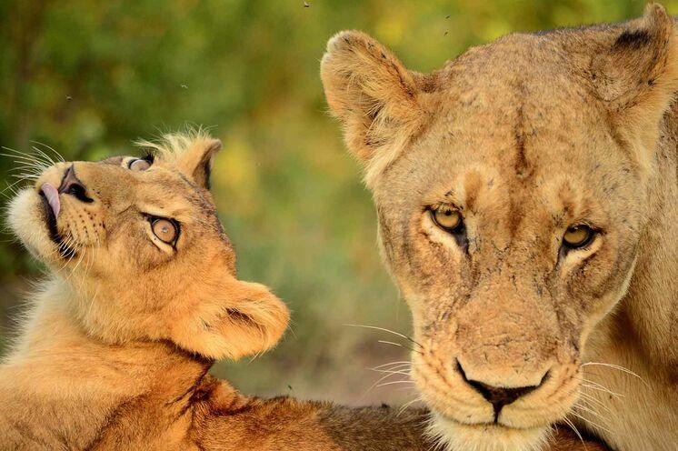 Eine Begegnung mit dem König der Savanne ist besonders eindrucksvoll, wenn man zu Fuß durch den Busch streift (natürlich gemeinsam mit professionellen Guides). (© Africa On Foot)