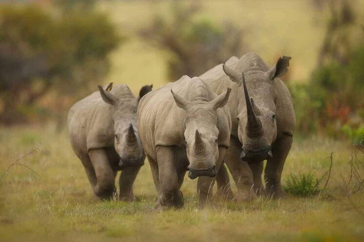 Das Reservat hat keinen Zaun zum benachbarten Krüger-Nationalpark. Viele Tiere wandern zwischen den Gebieten. (© Africa On Foot)