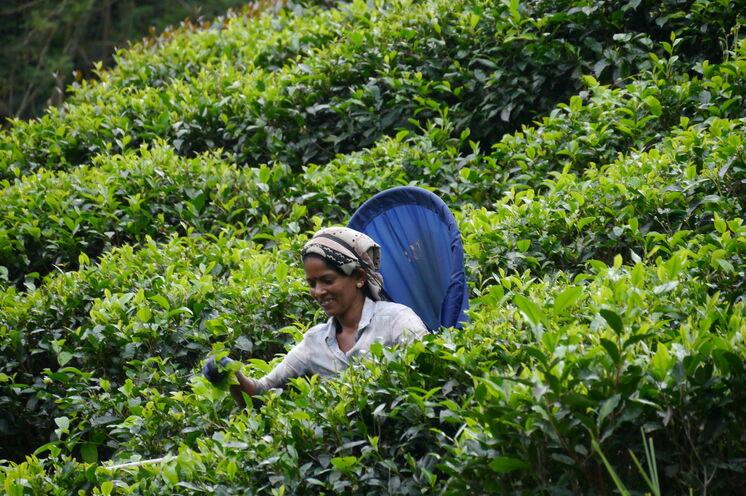 Eines der vielen Sinnbilder Sri Lankas: Teepflückerinnen bei ihrer handverlesen(d)en Arbeit
