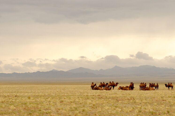 In der Mongolei lebt der weltweit größte Bestand zweihöckriger Kamele