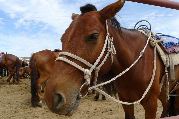 Die Mongolei ist das tollste Land für Pferdeliebhaber