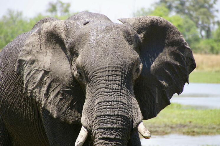 Im Chobe-Nationalpark (18. Tag) sind Begegnungen mit Elefanten garantiert.