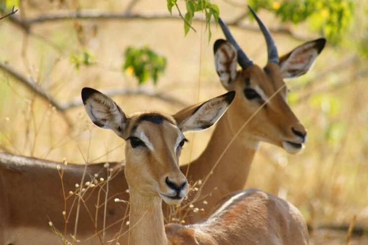 Impalas im Moremi-Wildreservat.