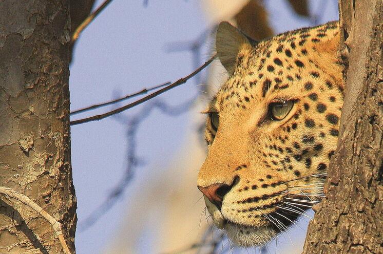 Botswana garantiert einmalige Tierbeobachtungen. Hier gehen wir intensiv auf Pirsch.