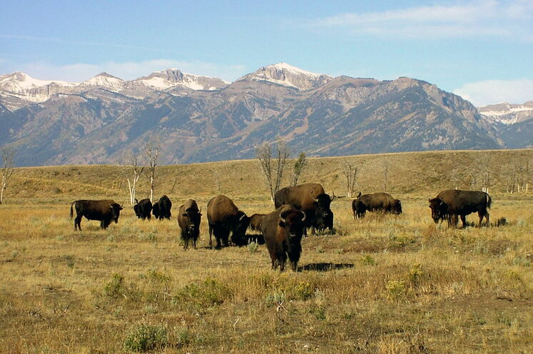 Bisons vor der Teton-Gebirgskette im Grand-Teton-Nationalpark