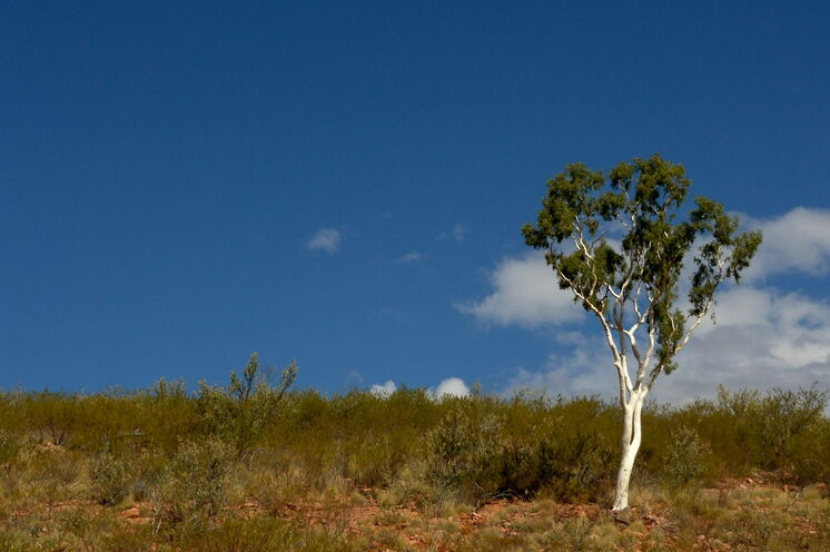 Einsame weiße Fluss-Eukalypten begegnen Ihnen auf einigen Wanderetappen