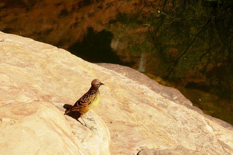 """...wo Sie auch den prächtigen Tropfenlaubenvogel im """"Garden Eden"""" sehen können"""