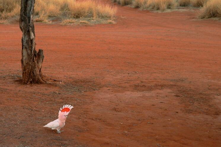 Leichter zu entdecken und zu beobachten als ein Goanna sind die gesprächigen Rosa-Kakadus...