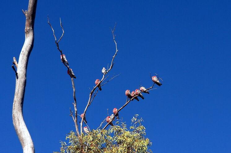 ...die sich gern in Schwärmen in den Wipfeln der Eukalyptusbäume versammeln