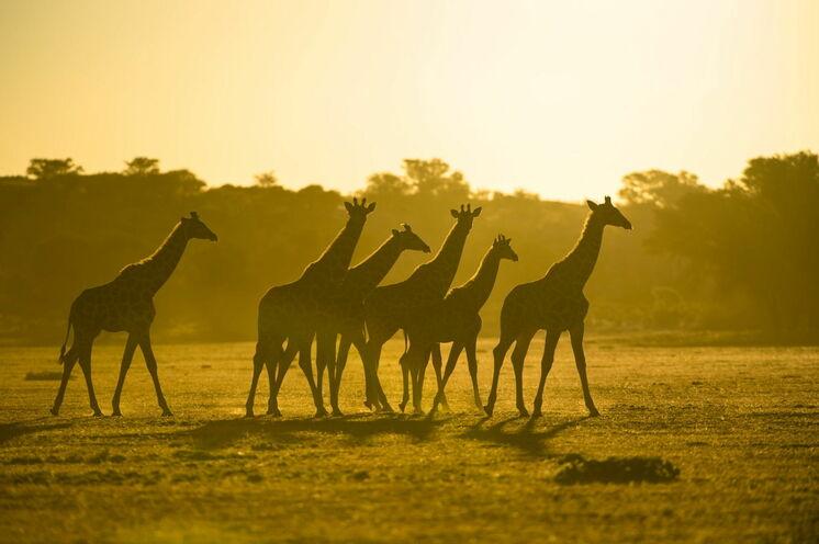 ... Giraffen...