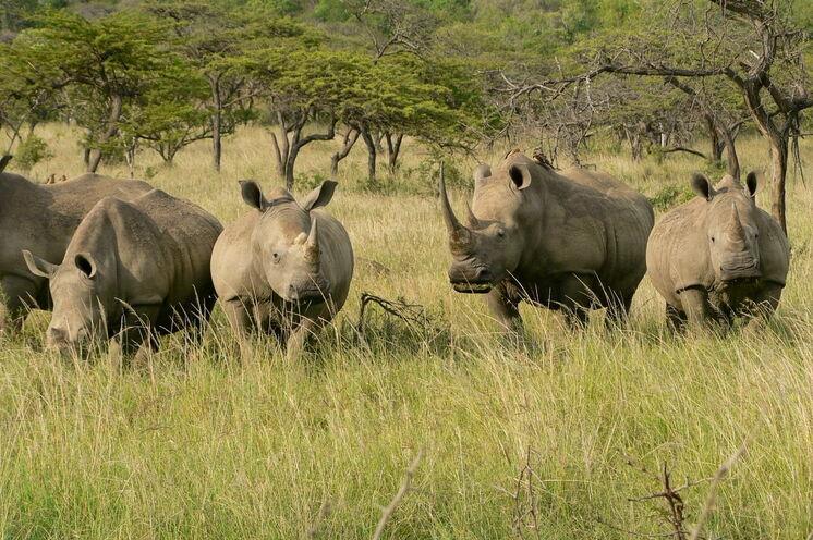 Eine hohe Population an Nashörnern ist im Hluhluwe-NP zu finden.