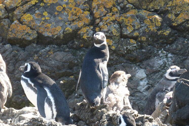Bei einem Bootsausflug können Sie Magellan- und Humboldt-Pinguine sehen