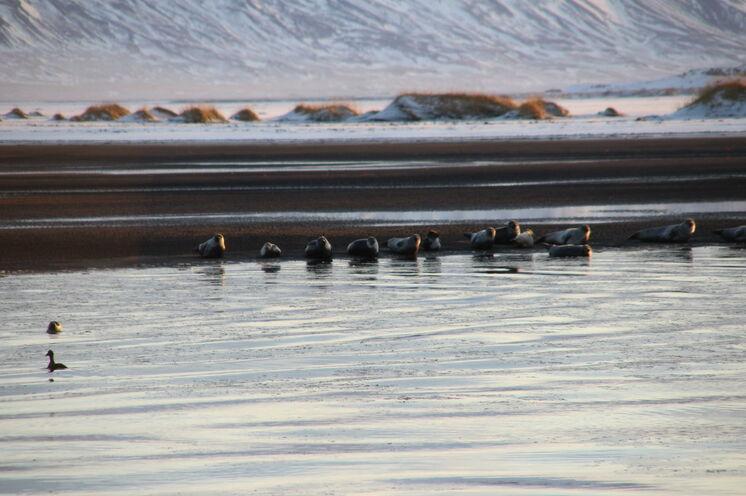 Zu Besuch bei der Seehunden der Halbinsel Vatnsnes
