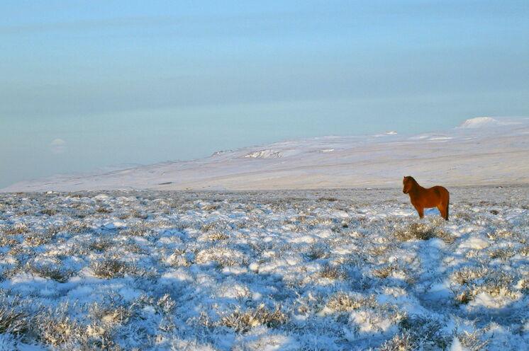 Islandpferd, Schnee und Wintersonne - mehr braucht es für ein stimmungsvolles Foto nicht.
