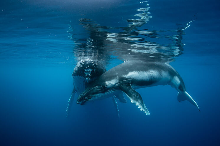 Jährlich treten Hunderte von Buckelwalen die weite Reise von der kalten Antarktis zu den warmen Gewässern Tongas an, um Ihre Jungen zur Welt zu bringen und aufzuziehen