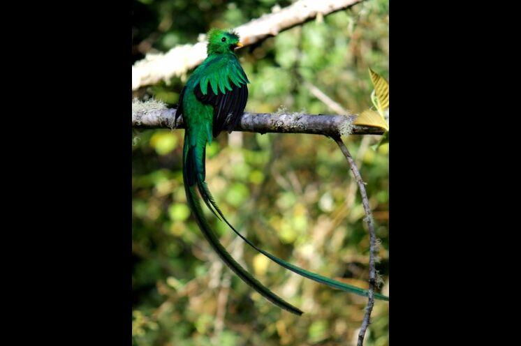 Mit aufmerksamen Blick entdecken Sie vielleicht bei der Wanderung im Nebelwald den geheimnisvollen Göttervogel Quetzal, um den sich so manche Legende rankt.
