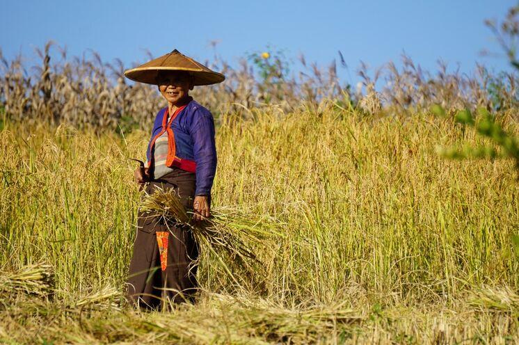Bei unserer Hsipaw-Trekkingtour begegnen wir Bauern bei der Reiseernte