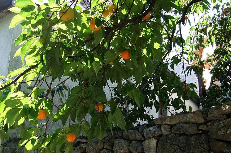 Khaki-Früchte
