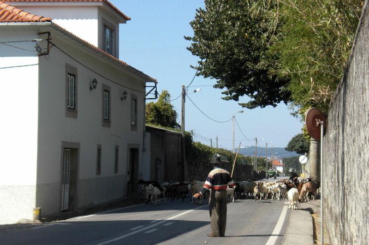 Ziegenhirte mit Herde auf dem Heimweg