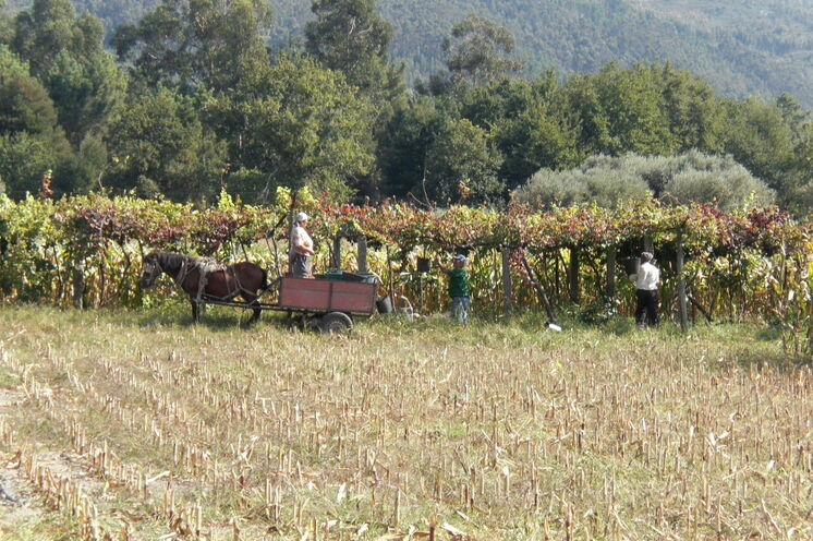 Bauern in Portugal bei der Weinernte