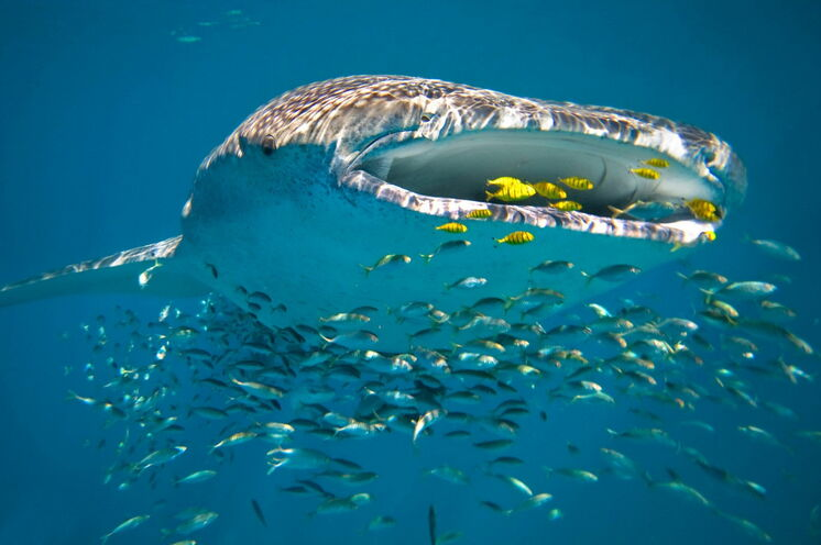 Whale Sharks am Ningaloo-Riff (UNESCO-Weltnaturerbe): faszinierende Tierwelt der Korallenküste (© Luxury Lodges of Australia)