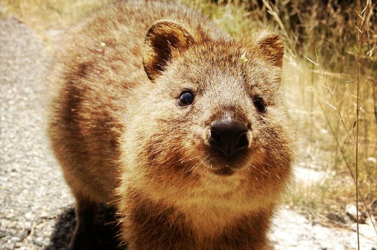 Quokkas - Bewohner von Rottnest Island: In diese exotischen Beutler werden Sie sich sofort verlieben