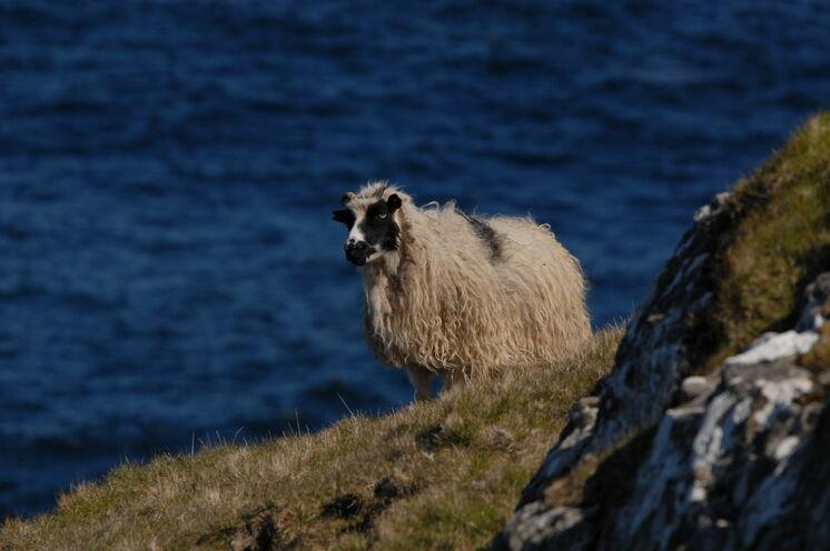 Schafe begleiten uns auf allen Wanderungen