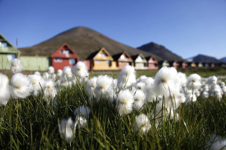 Arktisches Wollgras vor den bunten Häusern Longyearbyens