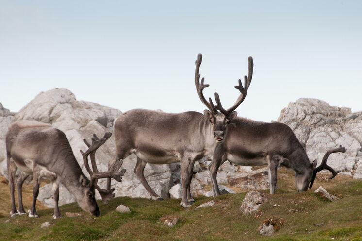 Acht Monate im Jahr ist der Boden auf Spitzbergen mit Schnee bedeckt. Nur in den Sommermonaten können Rentiere Gras fressen.