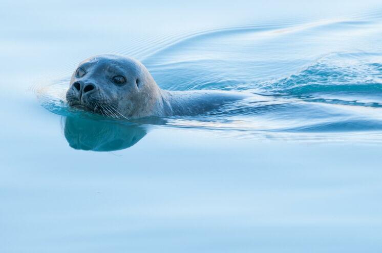 Das trockene Klima Spitzbergens sorgt für einen unglaublichen Reichtum an Flora und Fauna und bietet so einen idealen Lebensraum fϋr Seehunde