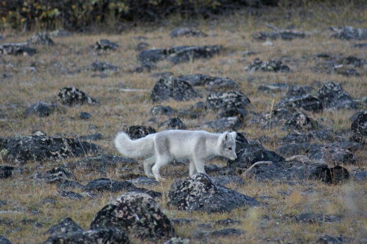 Mit etwas Glück läuft Ihnen ein junger Polarfuchs über den Weg.