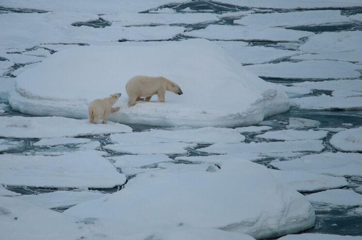 Der König der Arktis mit Nachwuchs