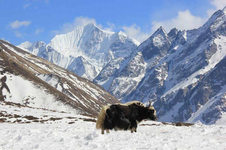 Yak in Kyanjin Gompa, mitten im Langtang Nationalpark, der gute 1.700 km² umfasst