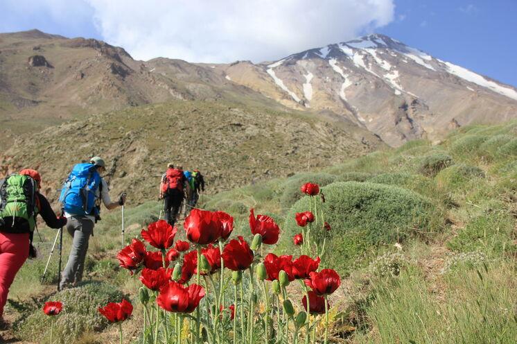 Der Aufstieg zum Damavand Advanced Basecamp (=ABC). Ende Juni, anfang Juli dürfen sich Fotografenherzen und Blumenliebhaber auf tiefroten Klatschmohn freuen.
