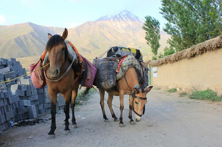 Unsere Helden des Tages - die beiden Maulesel. Sie tragen unser Hauptgepäck zum Berg.
