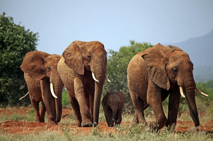 Große Herden an Elefanten können Sie in allen Nationalparks auf der Reise sehen!