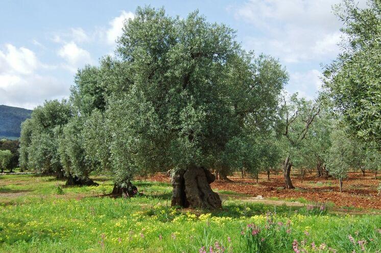 Uralte Olivenhaine gehören zu kultureller Identität und zum Stolz Apuliens!