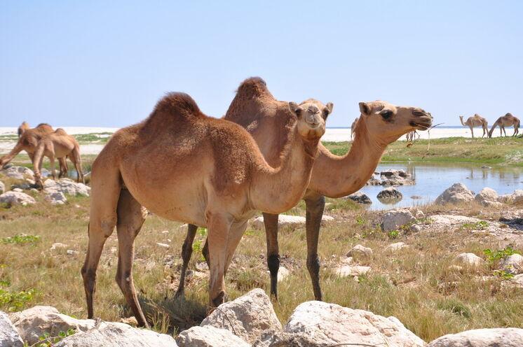 Auch die tierischen Bewohner Omans werden Ihren Weg kreuzen...