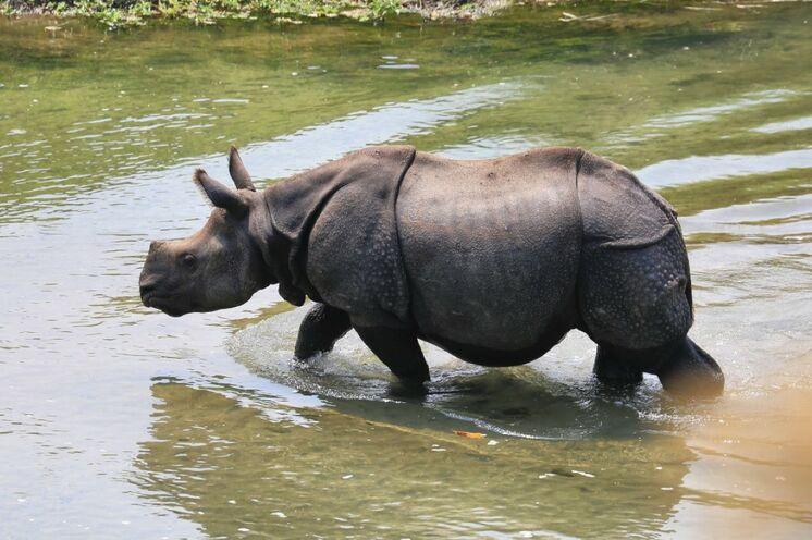 Panzernashörner im Chitwan Nationalpark (Foto: Roland Lubiger)