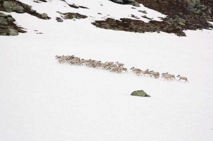 Unter Umständen begegnen Sie in der Wildnis der Finnmarksvidda auch einer Herde Rentiere