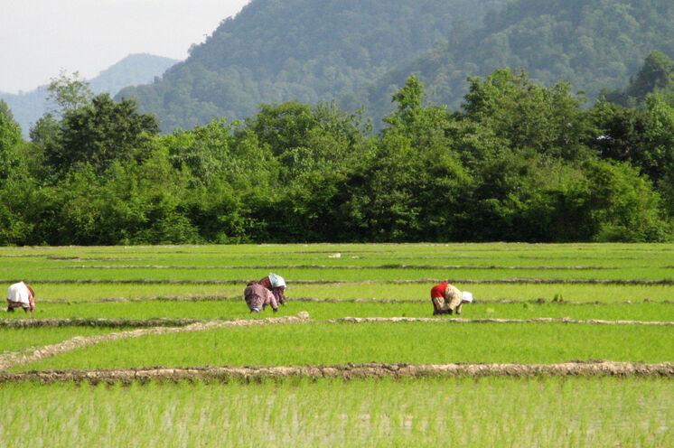 Auch das ist der Iran: Nördlich von Teheran wird Reis angebaut. Hier im grünen Norden unternehmen Sie gleich zu Beginn Ihrer Reise zwei Wanderungen.