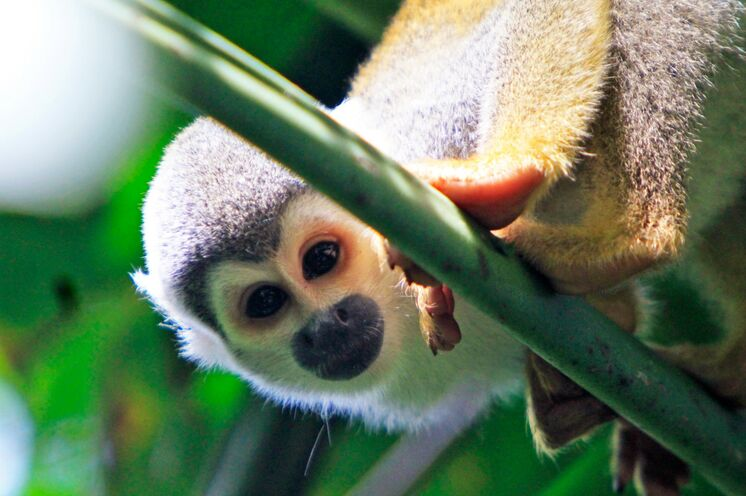 Zu Fuß und per Einbaum im Dschungel haben Sie die besten Chancen die Tiere zu beobachten - z.B. ein kleines Totenkopfäffchen