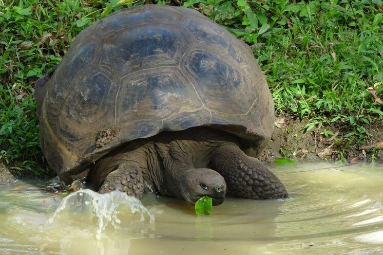 Landschildkröte mit Kuppelform