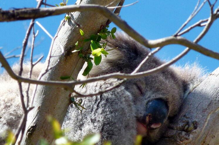 An der Great Ocean Road mit etwas Glück anzutreffen: Australiens wohl bekanntester Beutler, der Koala