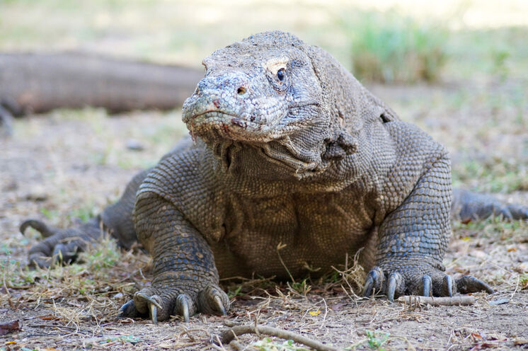 Der Komodowaran ist der letzte Drache unserer Erde