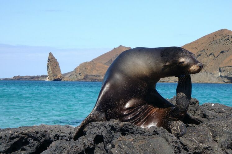 Galapagos Seelöwen (Foto: Petra Schönemann)