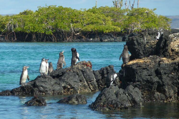 Pinguine tummeln sich auf dem Vulkangestein