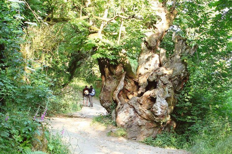 Im fast schon verschwenderisch grünen Galizien wandern Sie durch Eichen- und Pinienwälder...